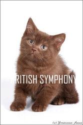Британские котята для Вас.