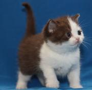 Британские котята окрас фавн и шоколадный биколор с геном циннамон.