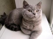 Продажа британских котят. Питомник Ольги Барсуковой